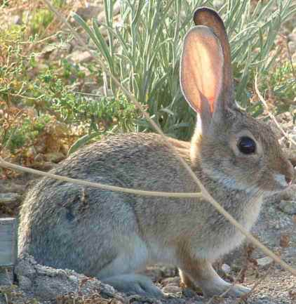 cotton_tail_rabbit